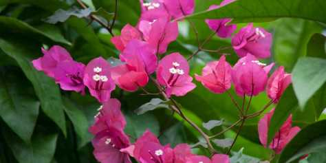 bougainvillea-flowers-bracts